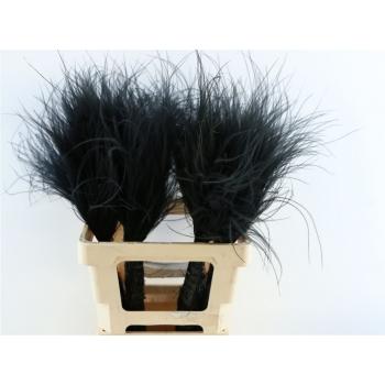 Gedroogde Stipa Pennata zwart toef van 60 cm