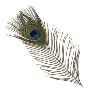 Lange Pauwenveren met oog