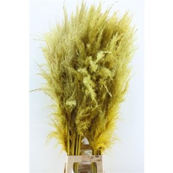 Pampasgras geel goed gevulde zachte pluimen gedroogd