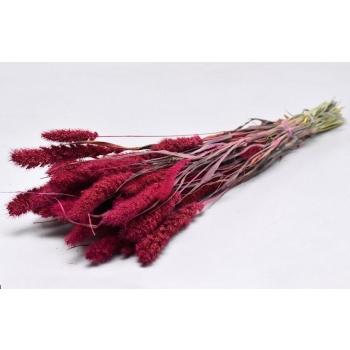 Gedroogde Setaria roze