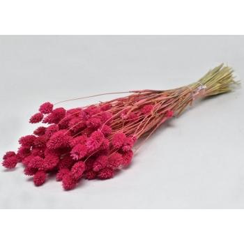 Gedroogde Phalaris gekleurd donker roze