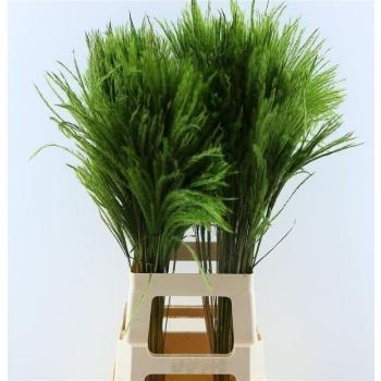 Fluffy Reed gras pluimen appel groen