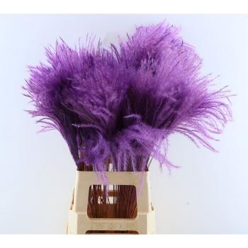 Fluffy Stipa pluimen paars
