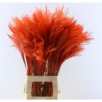Fluffy Reed gras pluimen rood