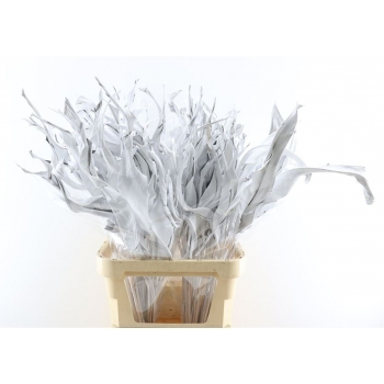 Strelizia blad gedroogd wit geverfd