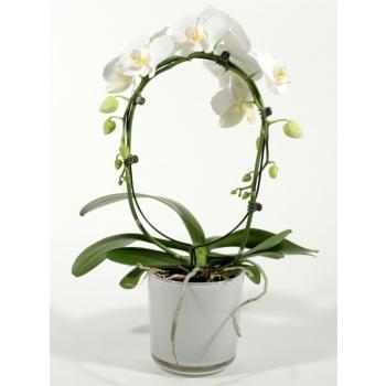 Phalaenopsis Orchidee wit boog in Claudia glaspot