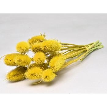 Gedroogde Kardoen distel geel geverfd