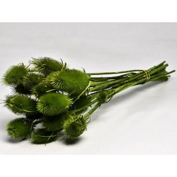 Gedroogde Kardoen distel groen geverfd