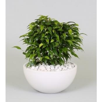 Ficus Benjamina green Kinky in een witte keramieke coupe