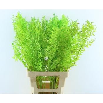 Ruscus geverfd mint groen