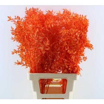Ruscus geverfd oranje