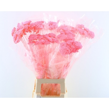 Gedroogde Achillea Parker gebleekt licht roze