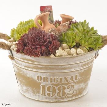 Sempervivum arrangement in een zinken pot