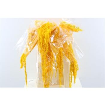 Gedroogde Amaranthus Caudatus geconserveerd yellow