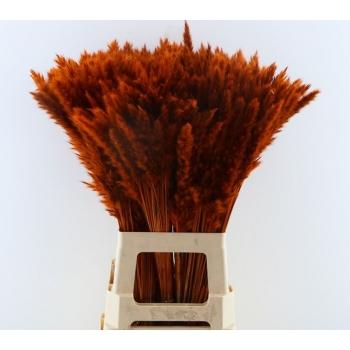 Fluffy Pampas (Miscanthus) pluimen oranje