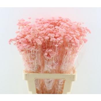 Gedroogde Achillea Silvestre gebleekt licht roze