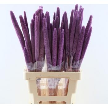 Babala violet