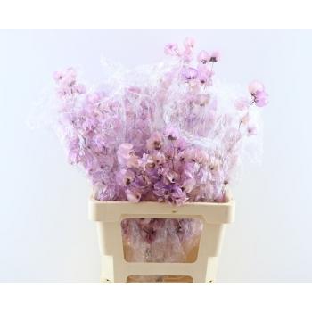 Bougainvillea gebleekt lavendel kleurig