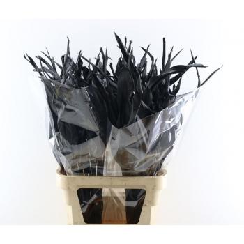 Strelizia blad gedroogd zwart geverfd