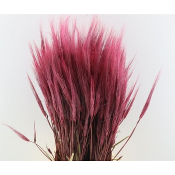 Gedroogde Triticale frosted pink