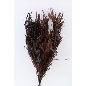 Helecho gebleekt mahonie geconserveerd gedroogd