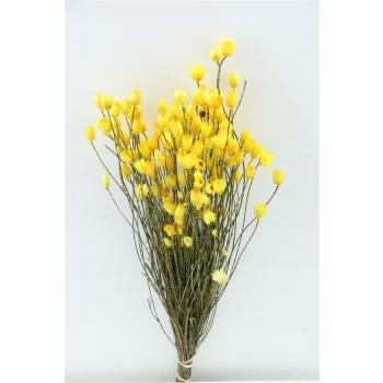 Kaaps everlasting geel