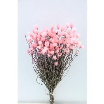 Kaaps everlasting licht roze