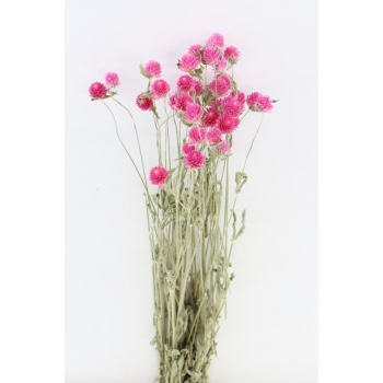 Gedroogde Gomphrena roze