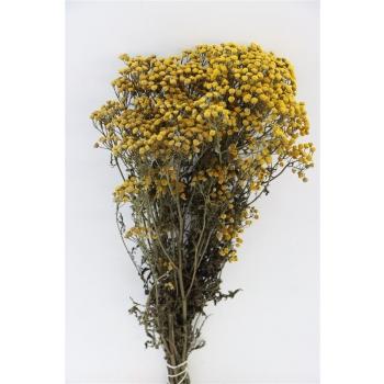 Tanacetum geel gedroogd