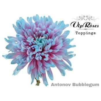 10 mono Chrysanten decoratief Antonov Bubblegum