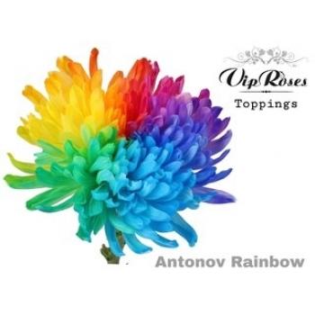 10 mono Chrysanten decoratief Antonov Rainbow