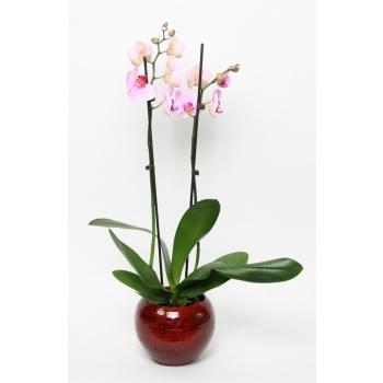 Phalaenopsis 2 takken in keramiek Stan rood