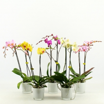 Phalaenopsis Orchidee 2 takken in een witte glaspot