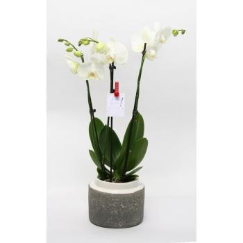 Phalaenopsis Orchidee wit 3 takken in keramiek Durban wit
