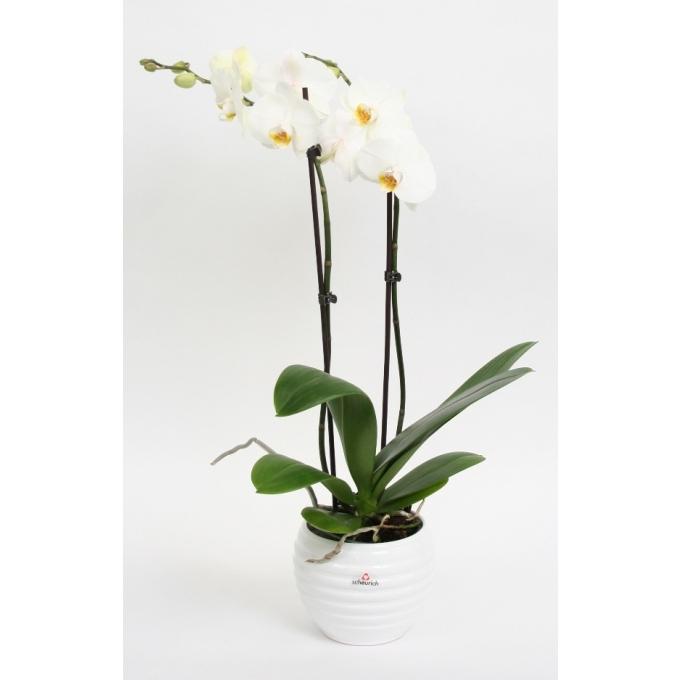 Phalaenopsis Orchidee 2 takken in keramiek Move wit