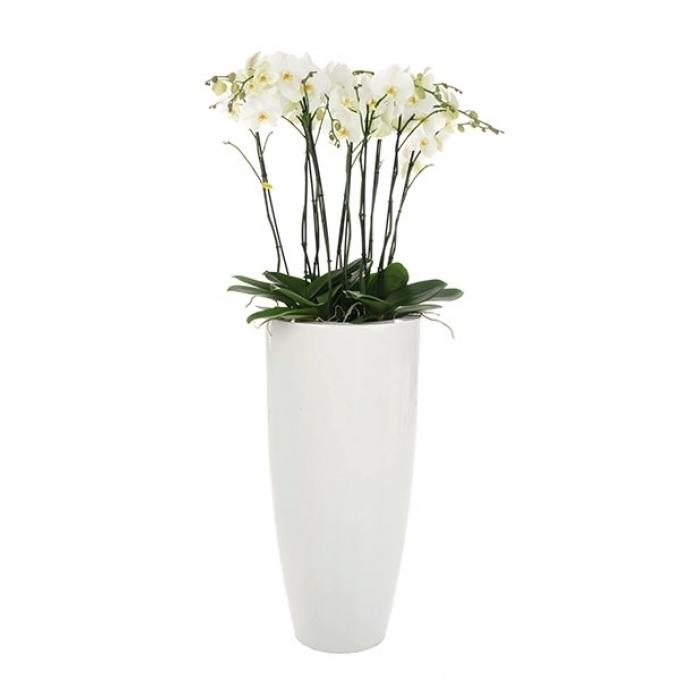 Phalaenopsis arrangement in grote hoge Witte Vaas Glossy