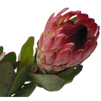 Protea bloemen met steel normaal
