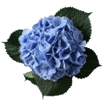 5 Hydrangea (Hortensia) middel