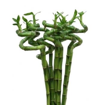 Lucky Bamboe spiraal stengels kort
