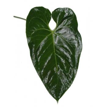 5 Anthurium blad groen