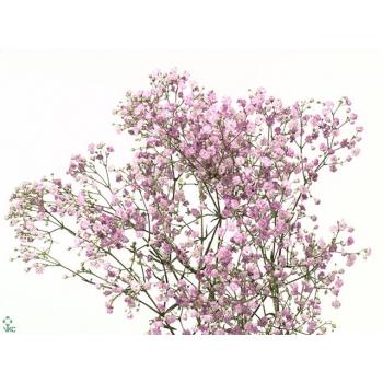 5 Gypsophila roze