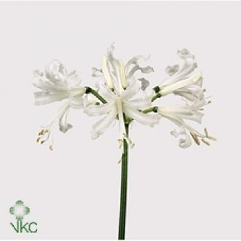 10 Nerine Amarine Belladiva