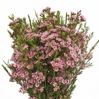 10 Waxflower
