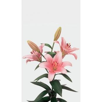 10 Lelies Aziaat in diverse kleuren 4 + bloemen