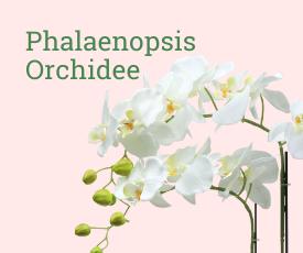 Phalanopsis orchidee bestellen bij Thuisbloemist