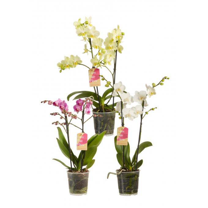 Phalaenopsis Multiflora Paars