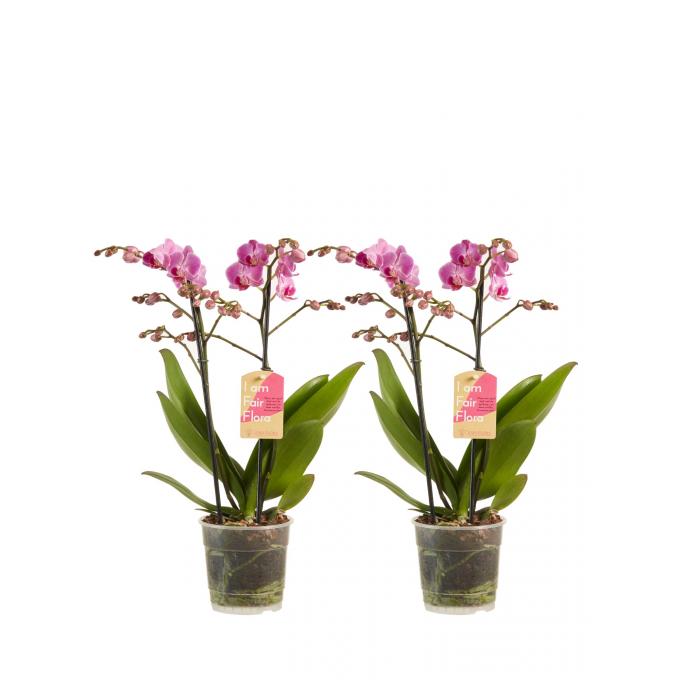 Phalaenopsis Multiflora Paars (2 stuks)