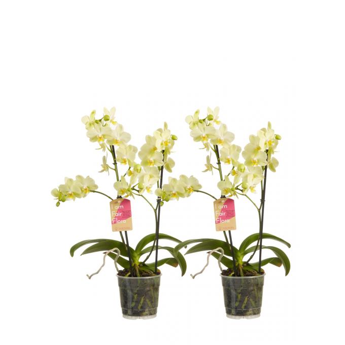 Multiflora Phalaenopsis Geel (2 stuks)