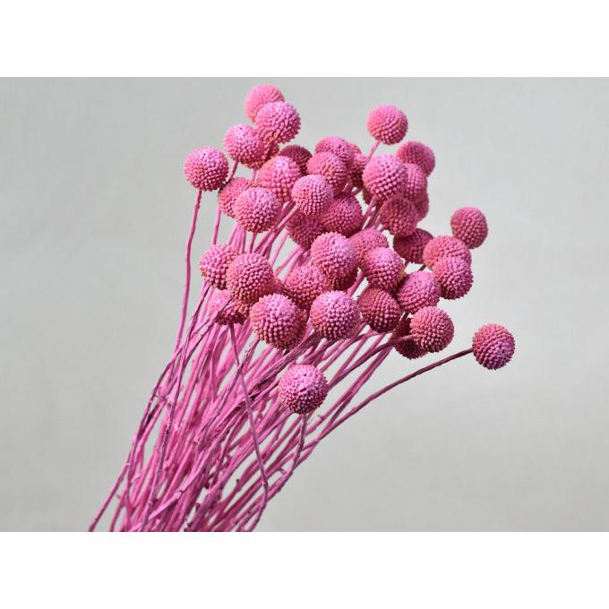Craspedia gedroogd roze (Billy Button)