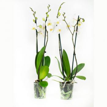 Phalaenopsis Springtime (2 stuks)